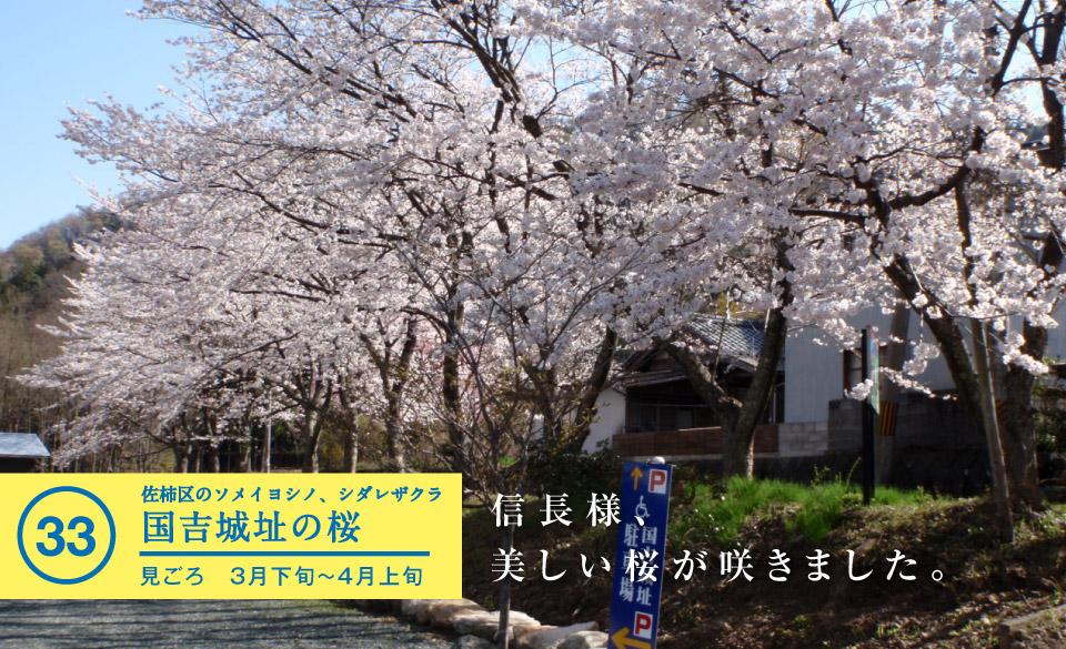 国吉城址の桜 - 若狭美浜旬の88ヵ所
